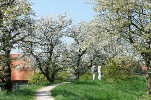 Kirschbäume und ein grüner Weg