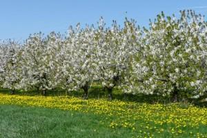 Kirschenbäume